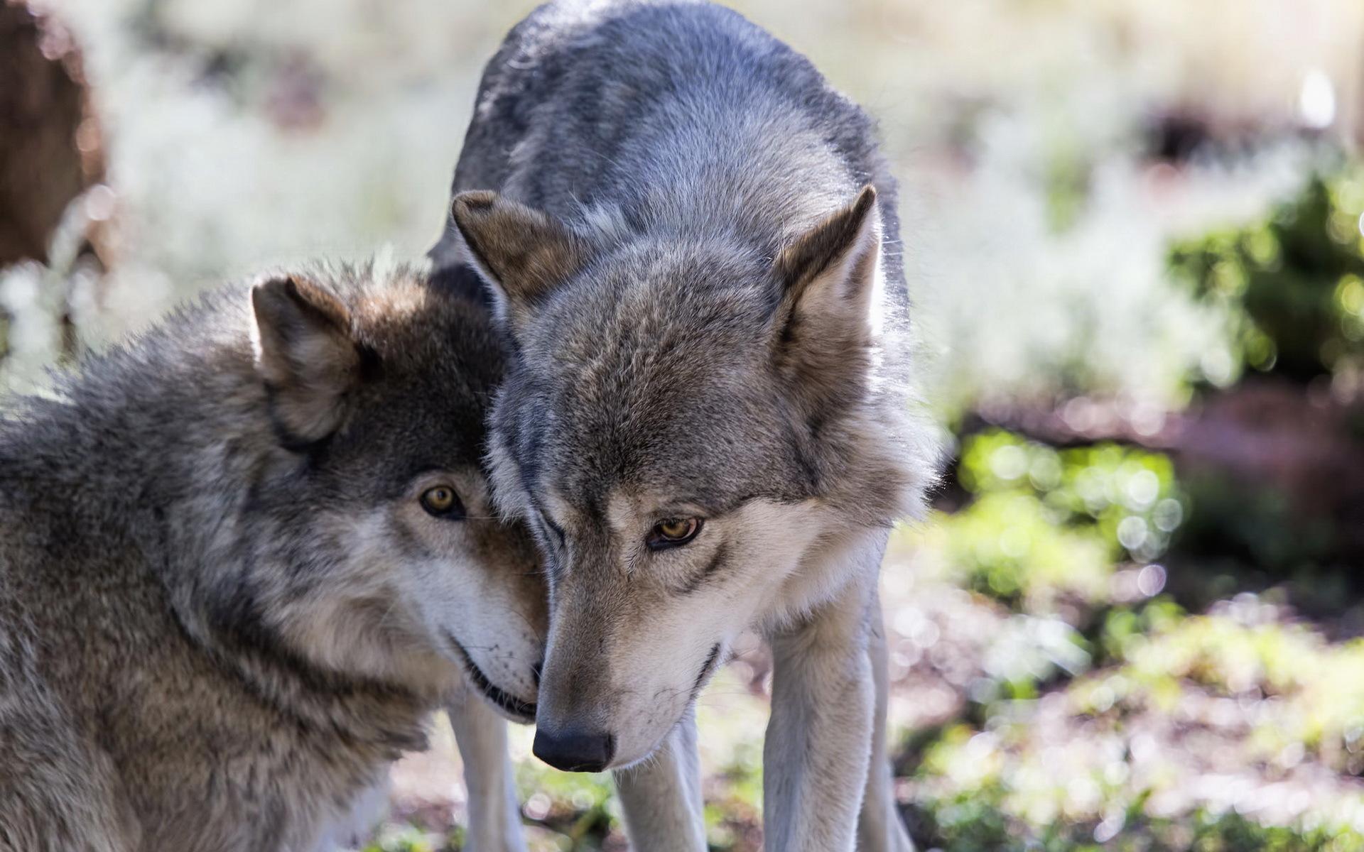 картинки фото волков в картинках ранее