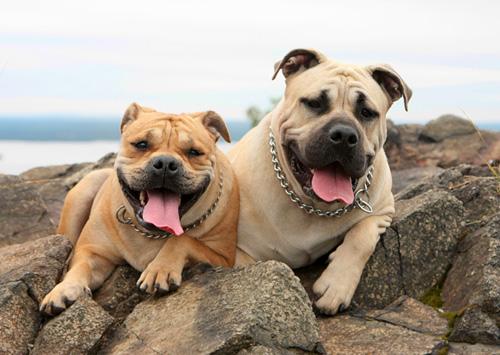 Бойцовые собаки (20 фото)