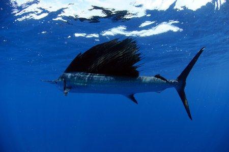 Рыба-парусник (19 фото)