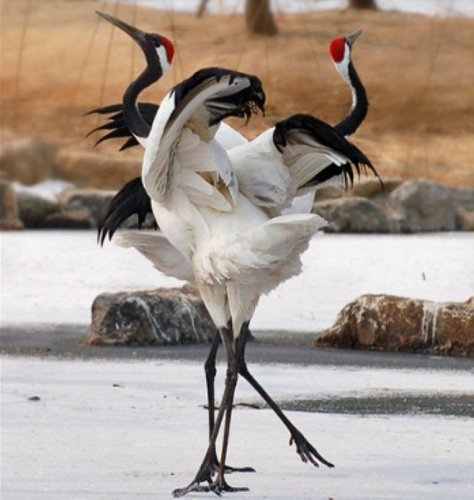 Журавлиный танец любви (6 фото)