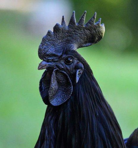 Самая экзотическая чёрная курица (8 фото)