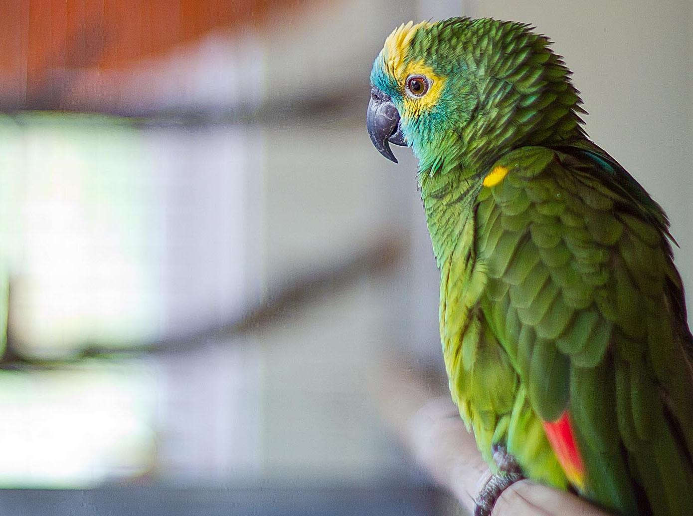 на каких попугаев аллергия