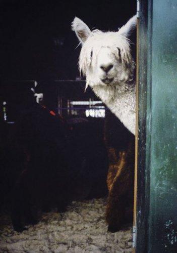 Комичные альпаки (28 фото)
