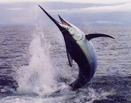 Рыба меч (3 фото+видео)