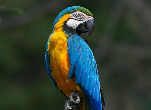 Это интересно : Рейтинг самых обучаемых попугаев (5 фото)