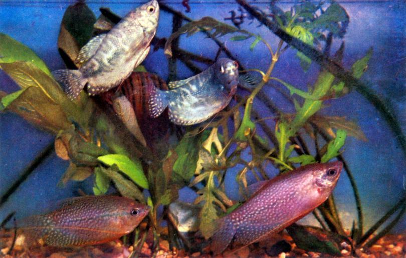 Мраморные рыбки аквариумные