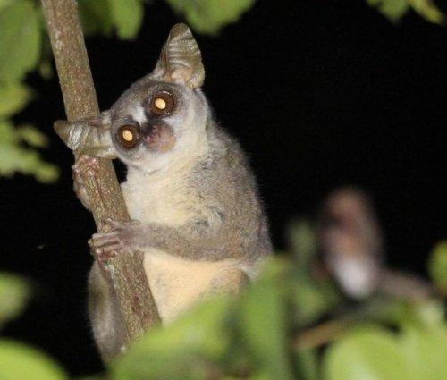 В ангольских лесах обнаружили новый вид приматов (5 фото)