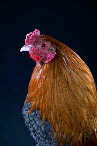 Петухи и курицы (25 фото)