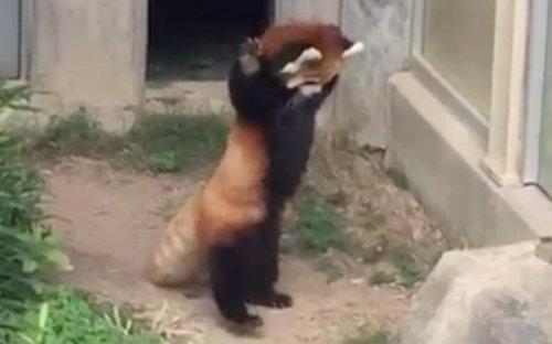 Юмор: Панда пытается напугать камень