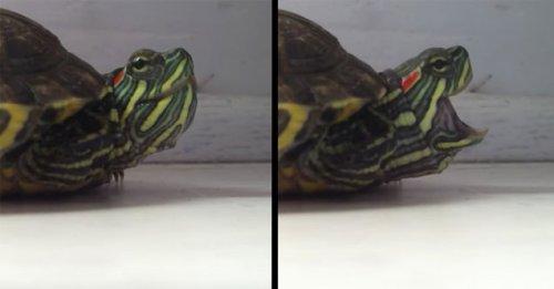 Юмор : Как чихает черепаха
