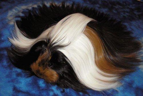 Очаровательные длинноволосые морские свинки (29 фото)