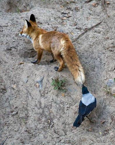 Хулиганы и задиры животного царства (30 фото)