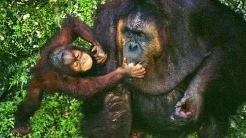 Интересные факты об орангутанах (8 фото)