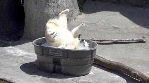 Юмор : Белая медведица резвится в ледяных кубиках