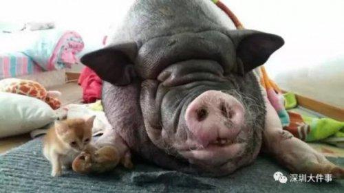 Семья шесть раз переезжала из-за своей громко храпящей свиньи (2 фото)