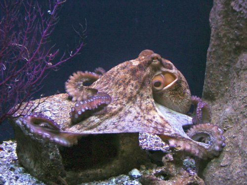 Осьминоги-загадочные морские обитатели (9 фото)