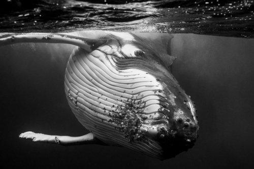 Поразительные фотографии горбатых китов (7 фото)