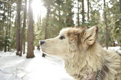 Ученые: волкам присуще чувство справедливости (6 фото)
