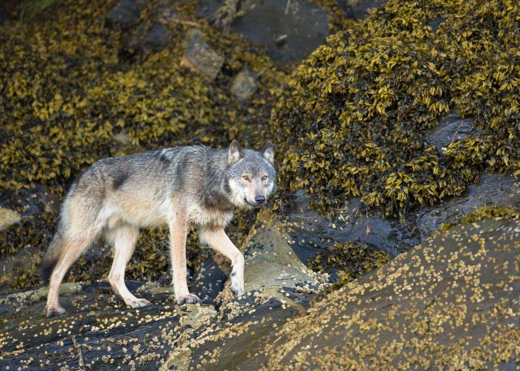 Картинки азия волк