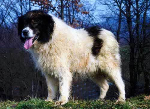 О породе: Торняк, Боснийский герцог (14 фото)