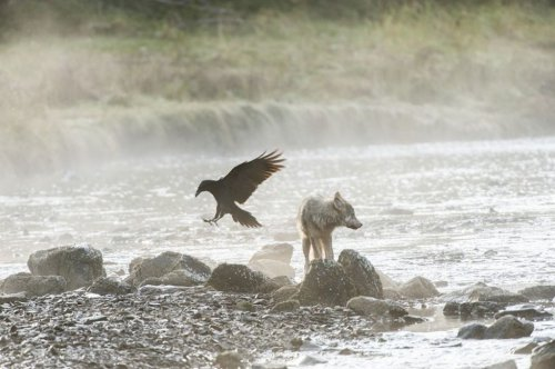 Прибрежные волки (11 фото+видео)