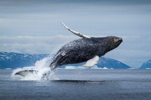 Интересное про китов (2 фото+видео)