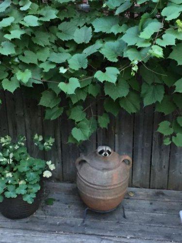 Прелестные еноты (20 фото)