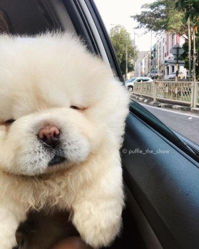 Знакомьтесь, это - Пуффи-Чао, восходящая звезда Instagram (8 фото)