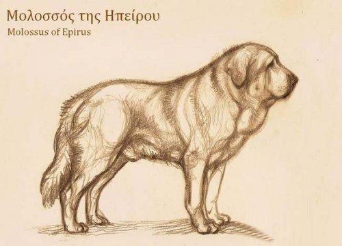 О породе: Эпирский молосс, древний Европеец (14 фото)