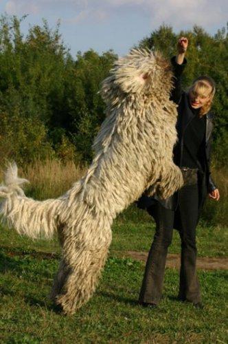 О породе: Комондор (венгерская овчарка) (12 фото)