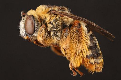 Макроснимки пчёл (9 фото)