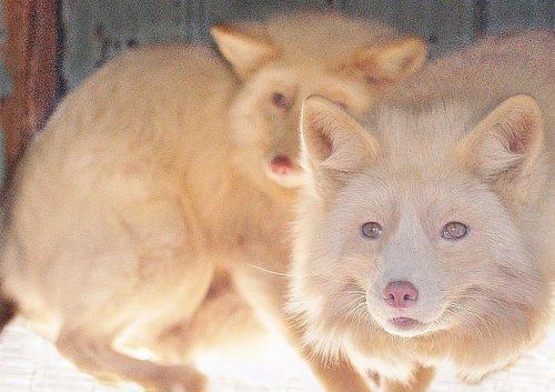 Розовая лисица (17 фото)