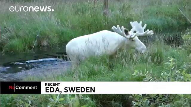 Редкое видео  про белого лося