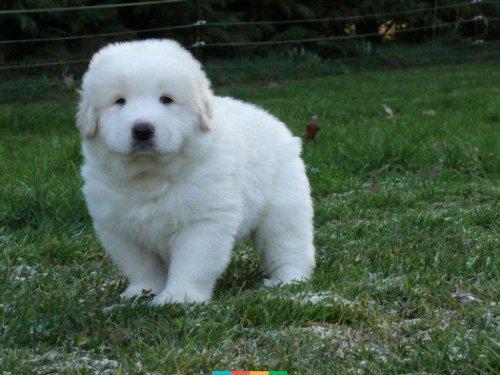 О породе:Красавец и добряк-пиренейская горная собака (13 фото+видео)