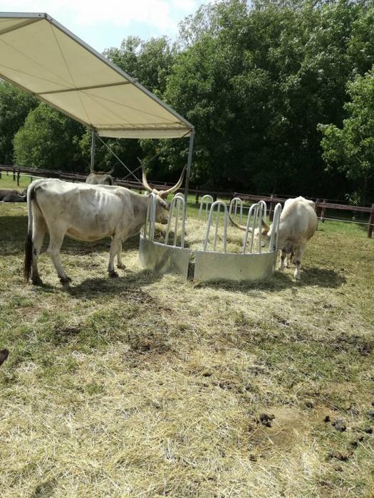 Венгерские коровы (2 фото)
