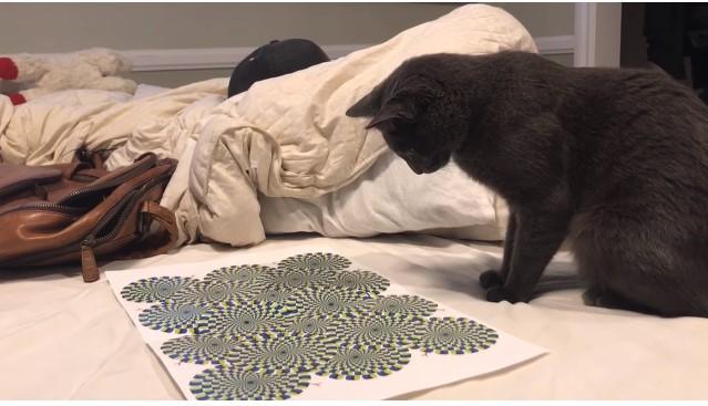 Юмор: Кот и оптическая иллюзия