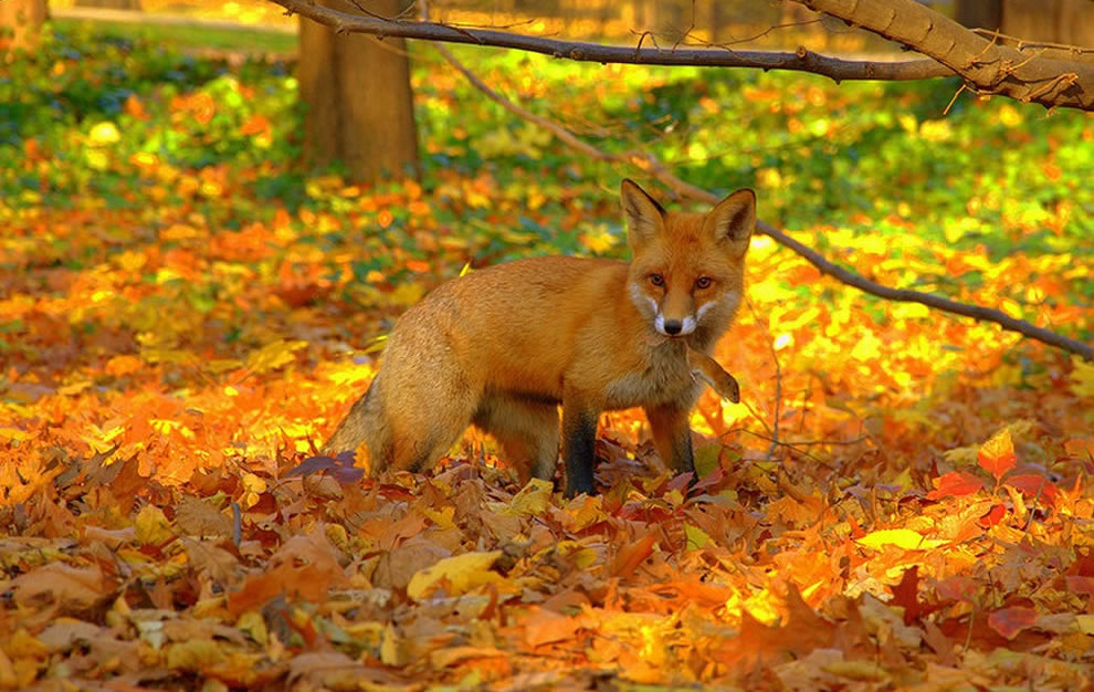 http://klopik.com/uploads/posts/2017-09/1504623179_red-fox-caught-mouse-in-bright-foliage-of-fall.jpg