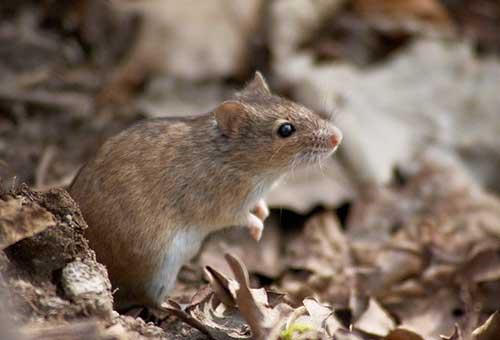 Правдивая и невероятная история о благодарном мышонке (4 фото)