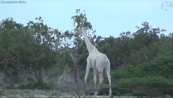 Это нужно увидеть! Белые жирафы