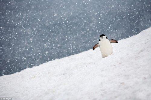 Обворожительные пингвины от фотографа Айры Мейера (17 фото)