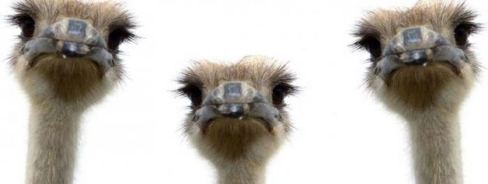 10 удивительных фактов о страусах (9 фото+видео)