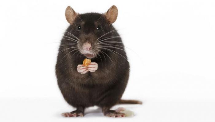 Юмор: Как мы с котом ловили крысу