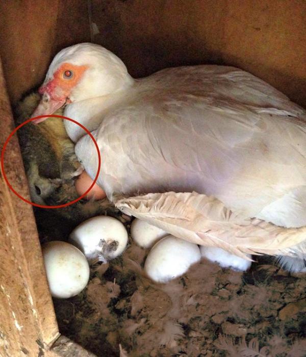 Утка спасла от смерти кроху (3 фото)