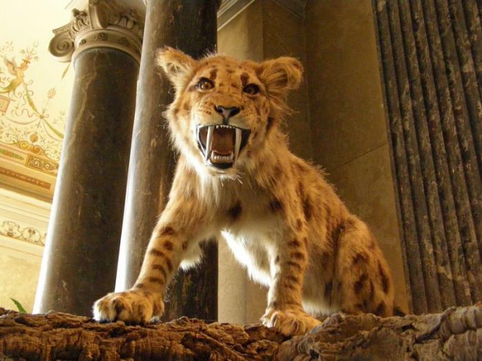 Саблезубые тигрята рождались тяжеловесами (2 фото)