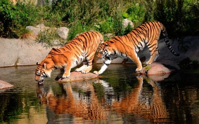 Тигр-это звучит гордо! (20 фото)