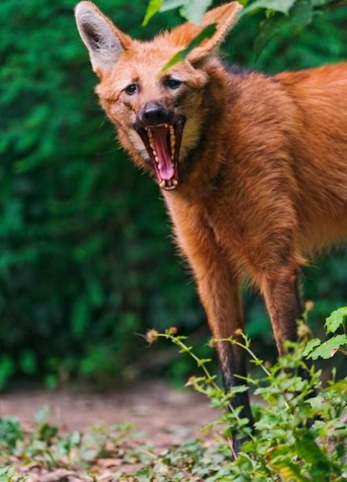 Гривастый волк (11 фото)