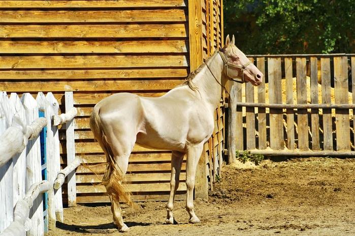 Изабелловая или кремовая лошадь (13 фото)