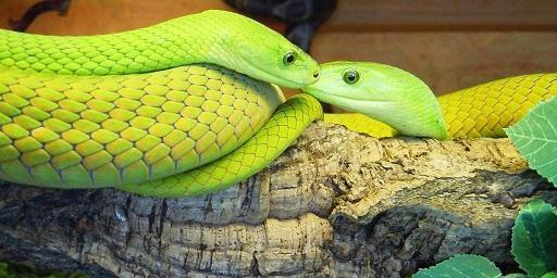 Виноградная змея (12 фото)