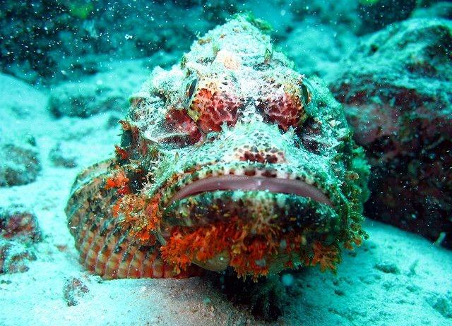 Смертоносная рыба-камень (12 фото)