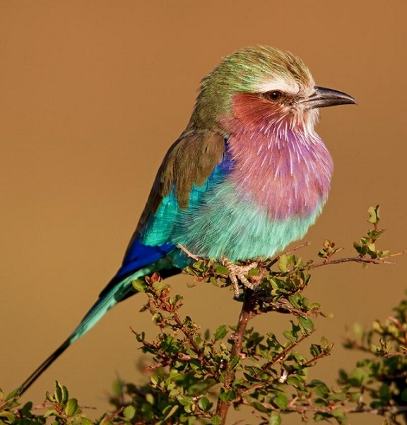 Roller bird